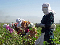 Schoolchildren-and-students-taking-part -n-a-cotton-harvest-in-Tajikistan